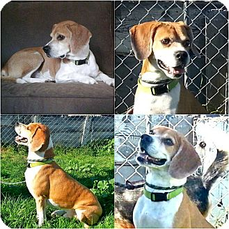 Beagle/Pug Mix Dog for adoption in Findlay, Ohio - TIMMIE