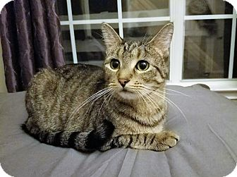 Domestic Shorthair Cat for adoption in Athens, Georgia - Iris