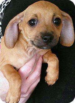 Dachshund/Pug Mix Puppy for adoption in Phoenix, Arizona - Pudge