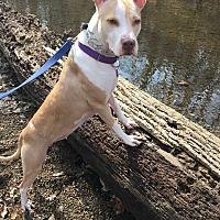 Adopt A Pet :: Billie Jean - Downingtown, PA