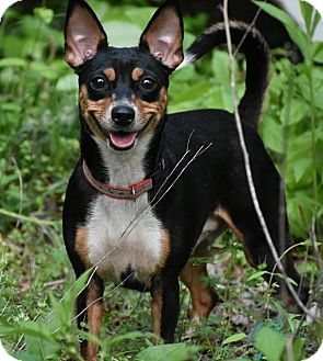 Chihuahua/Dachshund Mix Dog for adoption in North Brunswick, New Jersey - Ivy