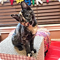 Adopt A Pet :: Bitsy - Arlington/Ft Worth, TX