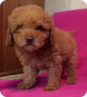 Poodle (Miniature) Mix Puppy for adoption in Kittery, Maine - Freddy