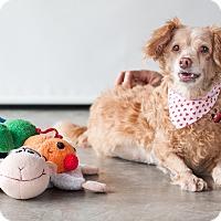 Adopt A Pet :: Sophie - Vancouver, BC