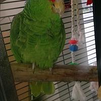 Adopt A Pet :: Danae - Villa Park, IL