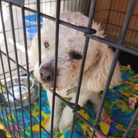 Adopt A Pet :: Chinto - Rio Rancho, NM