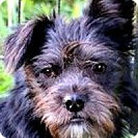 Adopt A Pet :: SPANKY(TINY LITTLE SCHNOODLE! - Wakefield, RI