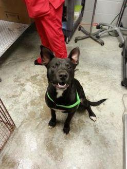 Labrador Retriever Mix Dog for adoption in Paducah, Kentucky - Groucho Marx