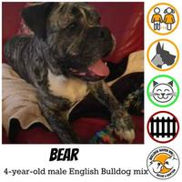 Adopt A Pet :: Bear - Everett, WA