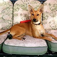 Adopt A Pet :: Angel- Indian Pariah pup - Monroe, NJ