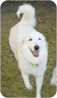 Great Pyrenees Dog for adoption in Kyle, Texas - Angel Bear