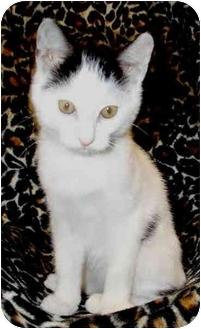 Domestic Shorthair Kitten for adoption in San Diego, California - Four Spots