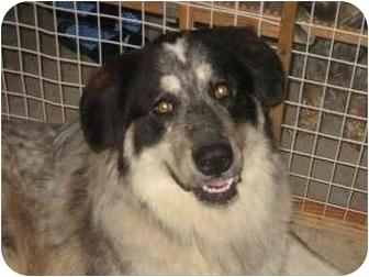 Great Pyrenees/Alaskan Malamute Mix Dog for adoption in Fenton, Missouri - KODA