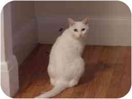 Domestic Shorthair Cat for adoption in Medford, Massachusetts - Sunshine