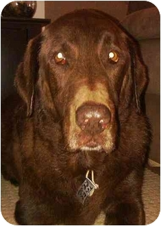Labrador Retriever Dog for adoption in Evergreen, Colorado - Zion