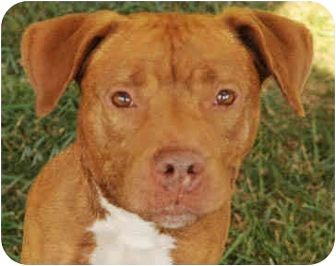 American Staffordshire Terrier Dog for adoption in Chicago, Illinois - Oscar
