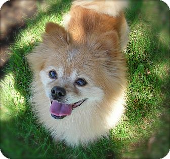 Pomeranian Mix Dog for adoption in El Cajon, California - Fluffy