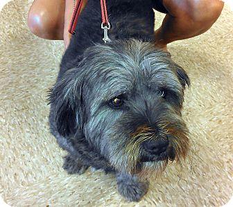 Lhasa Apso Dog for adoption in Morehead City, North Carolina - Lola