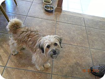Tibetan Terrier Mix Dog for adoption in Fort Collins, Colorado - BUDDY