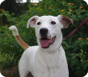 Harrier Mix Dog for adoption in Gainesville, Florida - Spunky