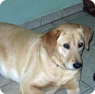 Labrador Retriever Mix Dog for adoption in Evergreen, Colorado - Fargo