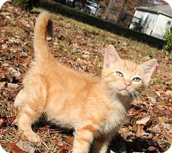 American Shorthair Kitten for adoption in Allentown, Pennsylvania - Stimpy