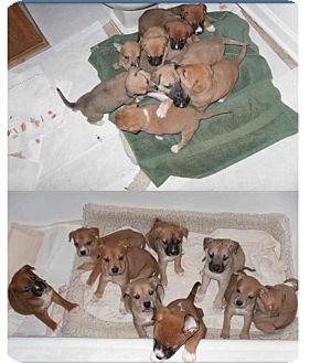 Boxer/Terrier (Unknown Type, Medium) Mix Puppy for adoption in CHICAGO, Illinois - PUPPIES