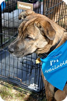 Shar Pei/Shepherd (Unknown Type) Mix Puppy for adoption in Huntsville, Alabama - Riley