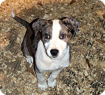 Catahoula Leopard Dog Mix Puppy for adoption in Groton, Massachusetts - Kate