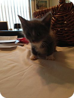 Domestic Shorthair Kitten for adoption in Fountain Hills, Arizona - NISHA