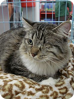 Maine Coon Cat for adoption in San Dimas, California - Popeye