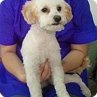 Adopt A Pet :: Chai Chai - Encinitas, CA