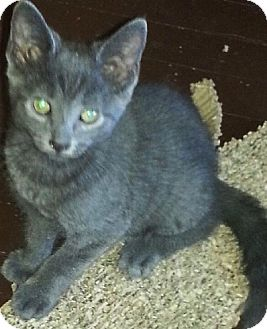Domestic Shorthair Kitten for adoption in brewerton, New York - Zoe