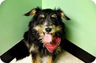 Terrier (Unknown Type, Small) Mix Dog for adoption in Fort Smith, Arkansas - Toby