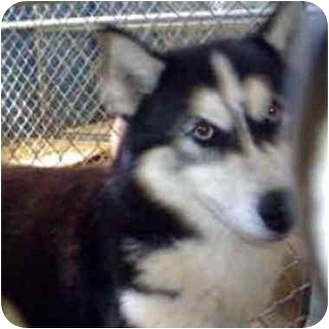 Siberian Husky Mix Dog for adoption in Various Locations, Indiana - Bluey