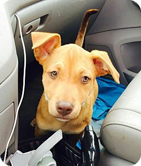 American Pit Bull Terrier/German Shepherd Dog Mix Puppy for adoption in Nashville, Tennessee - Ruby