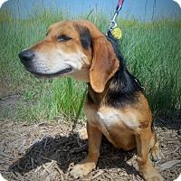 Adopt A Pet :: Pebbles - Albuquerque, NM