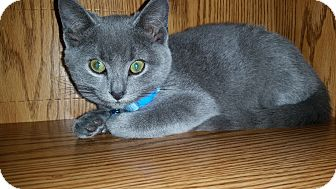 Russian Blue Kitten for adoption in Turnersville, New Jersey - Shadow