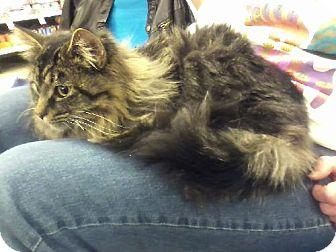 Domestic Longhair Cat for adoption in Wilmore, Kentucky - Magnus