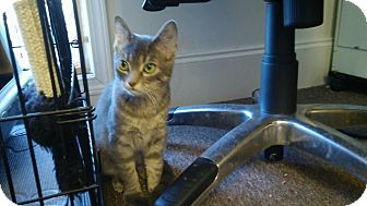 Domestic Mediumhair Cat for adoption in Centerton, Arkansas - Roxanne