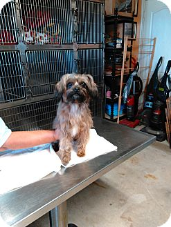 Shih Tzu/Lhasa Apso Mix Dog for adoption in San Antonio, Texas - Charlie