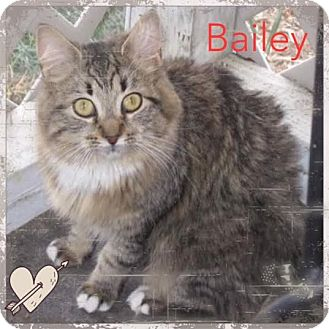 Maine Coon Cat for adoption in Harrisburg, North Carolina - Bailey