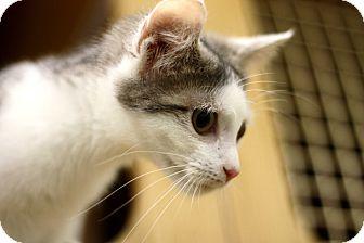 Domestic Shorthair Kitten for adoption in Astoria, New York - Chai