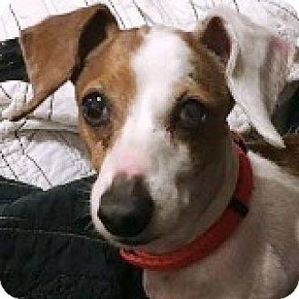 Dachshund Dog for adoption in Houston, Texas - Dorrie Divot