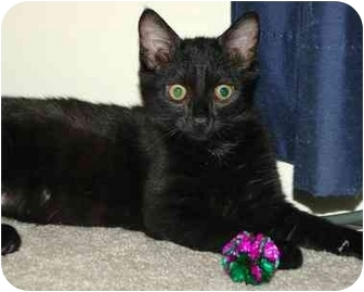 Domestic Shorthair Kitten for adoption in Stafford, Virginia - Sweet Pea
