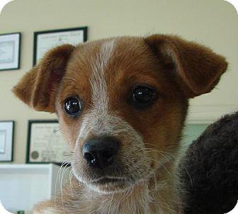 Redbone Coonhound Mix Puppy for adoption in Erwin, Tennessee - Ryder