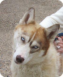 Husky Dog for adoption in Glenwood, Minnesota - Luna Lou