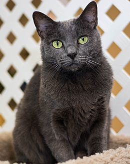 Domestic Shorthair Cat for adoption in Austintown, Ohio - River