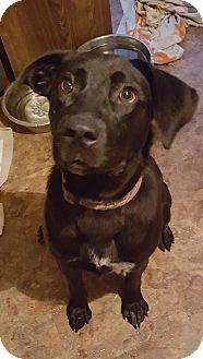 Labrador Retriever Mix Dog for adoption in Rockford, Illinois - Lucy