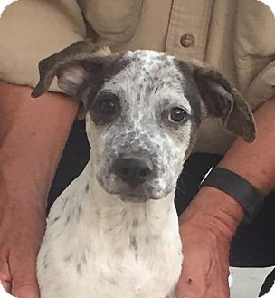 Shepherd (Unknown Type) Mix Puppy for adoption in Chico, California - Peppy